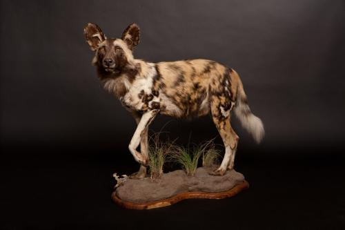 Wild Dog full mount