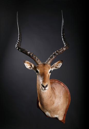 Impala-Drop-Shoulder-Shield