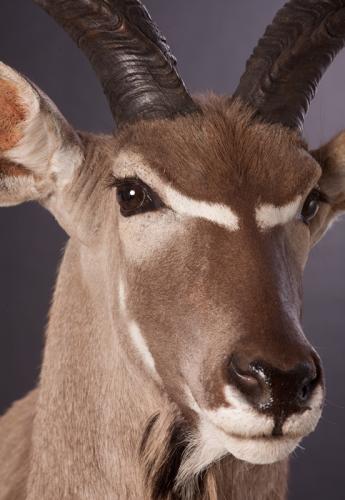 Kudu-Face-Closup