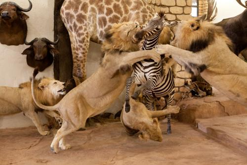Lion and Zebra scene close