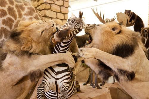 Lion and Zebra scene extra close